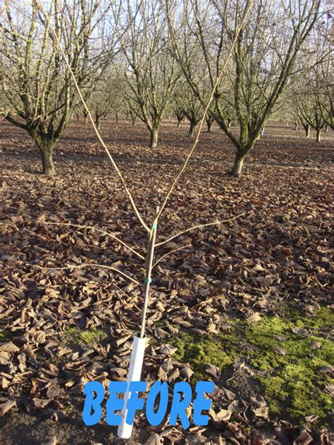 pruning hazel trees first year pruning before growing hazelnuts