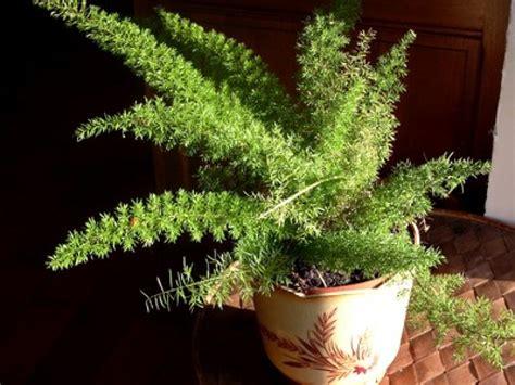 suspensions cuisine les asparagus des plantes d 39 intérieur faciles à vivre