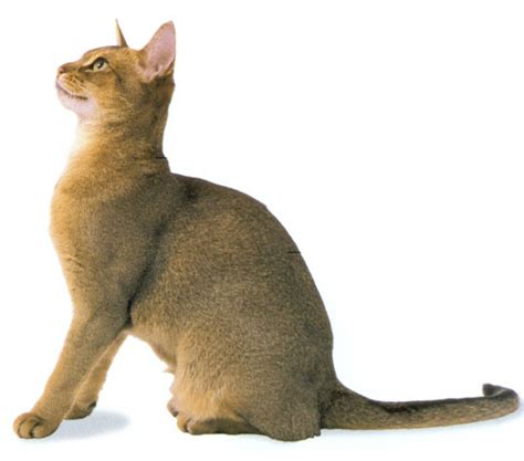 cat expectancy abyssinian cat life expectancy about animals