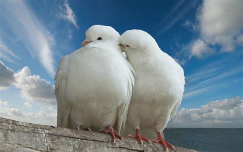 white pigeon bird wallpaper gallery