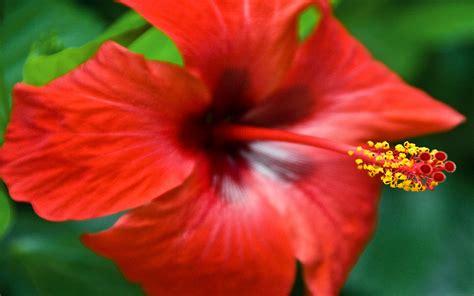 fiore rosso fiore rosso wallpaperart