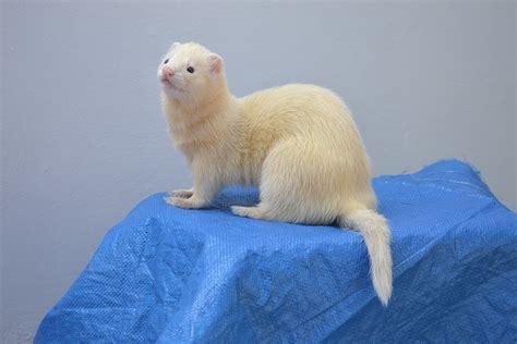 long  ferrets   adopt hope elephants