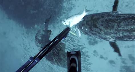 grouper steals spearfisherman speargun attacks