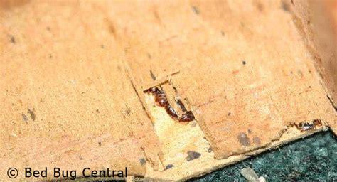 bed bugs 101 biology behavior bedbug central