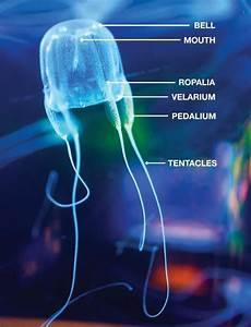Box Jellyfish - Facts About The World's Deadliest ...
