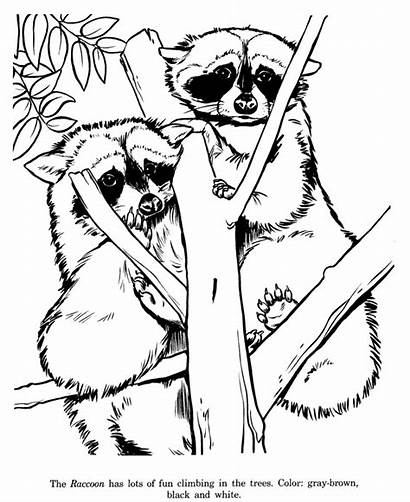 Raccoon Coloring Pages Racoon Animal Zoo Drawing