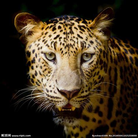 美洲豹摄影图__野生动物_生物世界_摄影图库_昵图网nipic.com