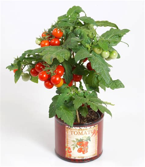 tomatenpflanze mit fruechten snack direkt  pflanzen