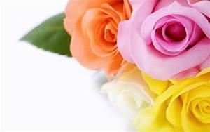 Beautiful Roses HD Wallpapers - WonderWordz