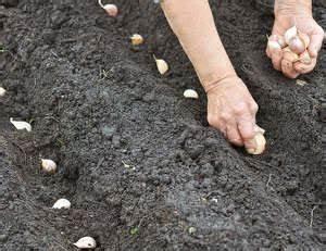 Planter Ail Rose : ail culture plantation et r colte ~ Nature-et-papiers.com Idées de Décoration