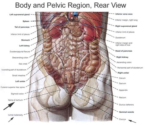 In flexion exercises you bend forward to stretch the muscles of the b. tooloop.com   Human body organs, Human organ diagram, Body organs