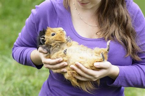 happy abyssinian guinea pig stock photo image  sunny