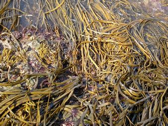 cuisiner des algues cuisiner avec les algues saveurs et vertus