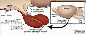 Health Guide  Pituitary Anatomy Figure 1