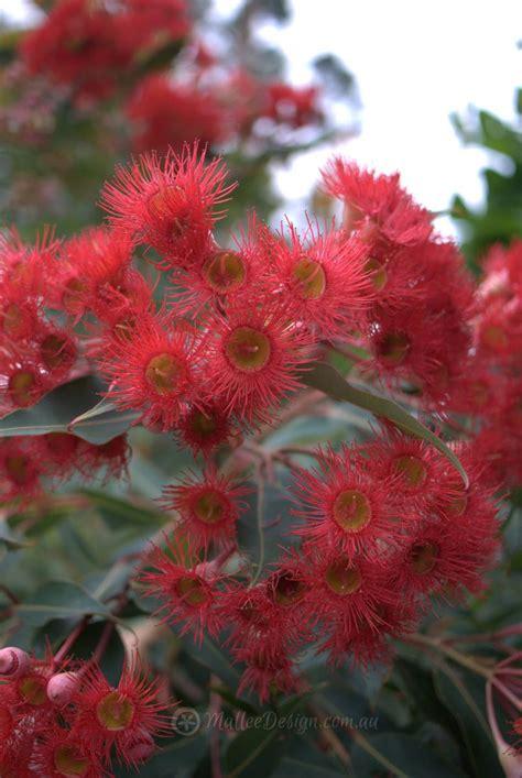 8 Best Australian Native Gardens Images On Pinterest
