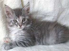 maine coon cat rescue adorable maine coon kittens for for adoption
