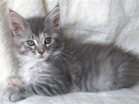 adorable maine coon kittens for sale for sale adoption