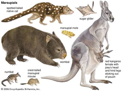 marsupials worksheet worksheets printable second marsupial mammals australian australia animal types pouch species most carried