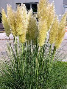 Ziergräser Im Topf : pampasgras voordelig in tuincentrum van de kwekerij ~ Watch28wear.com Haus und Dekorationen