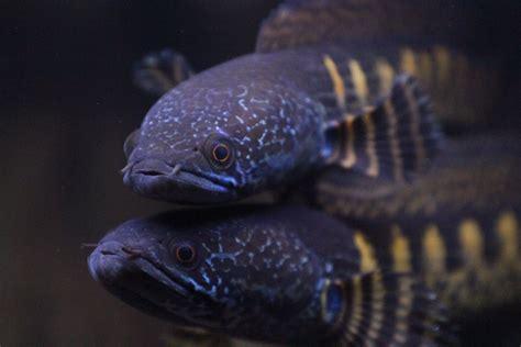 northern snakehead fish characteristics habitat types