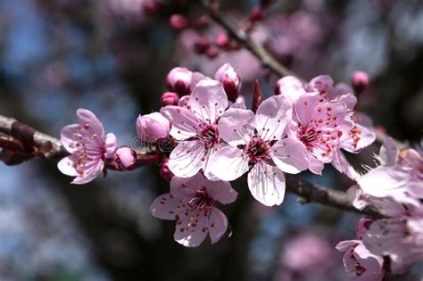 Branch Of Cherry Blossom With Pink Flowers On Colorful