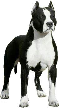 american staffordshire terrier  pitbull breed comparison