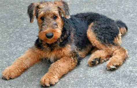 airedale terrier non shedding non shedding breeds care zone