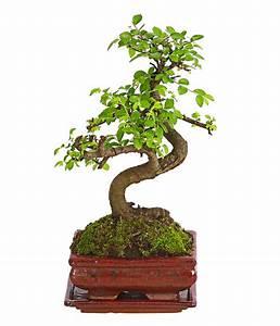 Bonsai Chinesische Ulme : bonsai anf nger geschenkset chinesische ulme dehner ~ Frokenaadalensverden.com Haus und Dekorationen