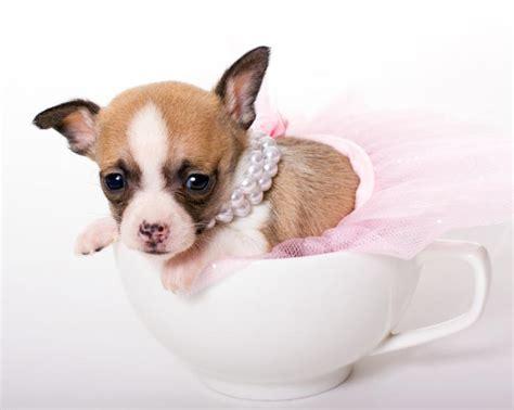 miniature teacup chihuahuas slideshow