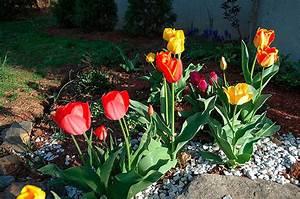 Cuidado de los Tulipanes >> ¡GUÍA PASO A PASO BIEN EXPLICADA!