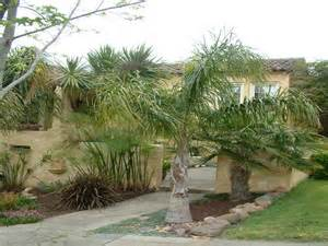 gardening landscaping palm trees ideas for backyard with stone patio palm trees ideas for
