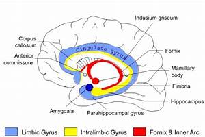 2  The Limbic System