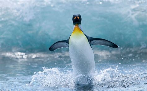 Water Animal Wallpaper - hd penguins wallpapers and photos hd animals wallpapers