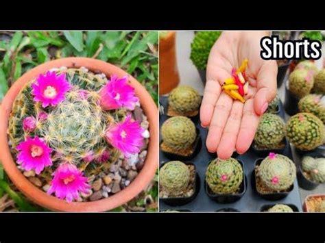 วิธีผสมเกสรแคคตัส สุดง่าย! และให้ติดเยอะๆ[How to Polinate Cactus Flowers] ในปี 2021 | ดอกไม้
