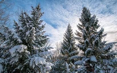 Pine Trees Snow Tall Heavy Tree Wallpapers