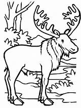 Coloring Moose Jungle Kidsplaycolor sketch template