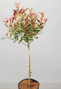 Photinia Fraseri Robusta Compacta : just terrace xxl c9 assortiment ~ Buech-reservation.com Haus und Dekorationen