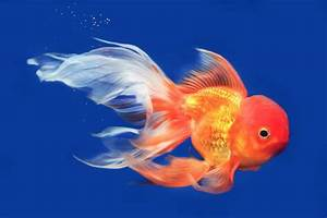 9 Colorful Facts About Goldfish