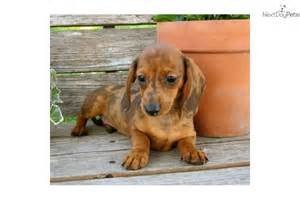 Free Dachshund Puppy to Good Home