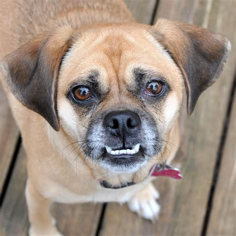 The Gallery For full Grown Puggle