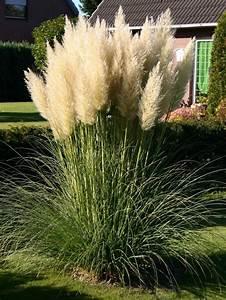 Garten Ohne Gras : pampasgras wei cortaderia selloana baumschule horstmann ~ Sanjose-hotels-ca.com Haus und Dekorationen