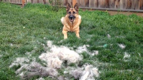 german shed how to brush your german shepherd timelapse