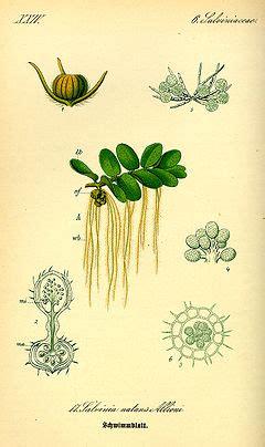 salviniaceae wikipedia bahasa indonesia ensiklopedia bebas