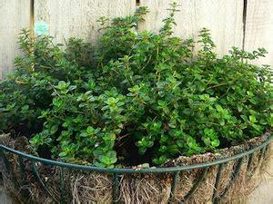 culture du thym en pot thym une plante aromatique incontournable