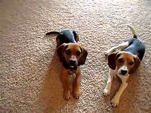 Home Grown Pocket Beagles in Action! Part 2 - YouTube