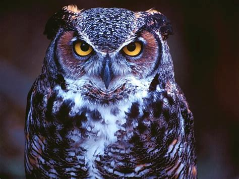 Owl Wallpapers by Owl Wallpapers High Definition Wallpapers Cool Nature