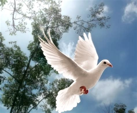snow white dove birds animals background wallpapers