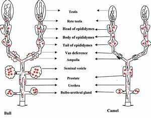 Schematic Presentation Of Male Reproductive Systems Of The