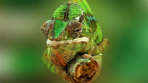 wallpaper chameleon color change lizard veiled