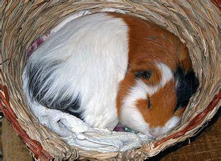 fileotto  guinea pig sleepingjpg wikimedia commons